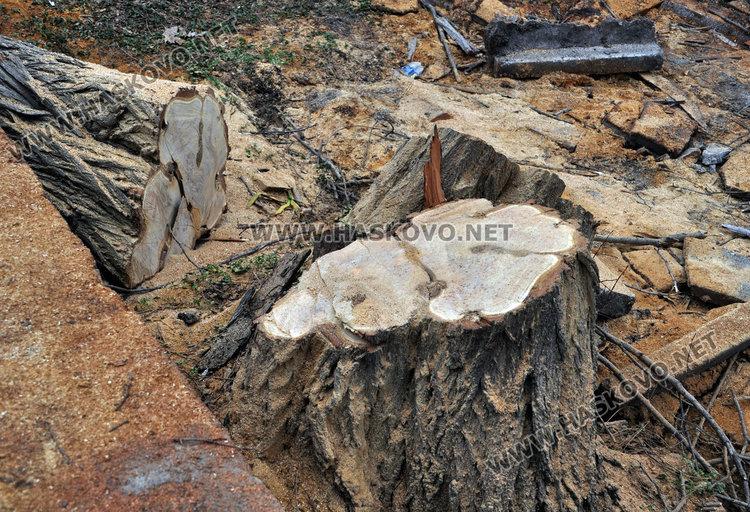 Общината: Ето как изглеждаха дърветата в забавачката, преди да ги отсечем