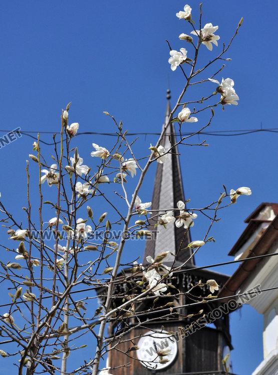 Хасково се премени пролетно с магнолиеви цветове