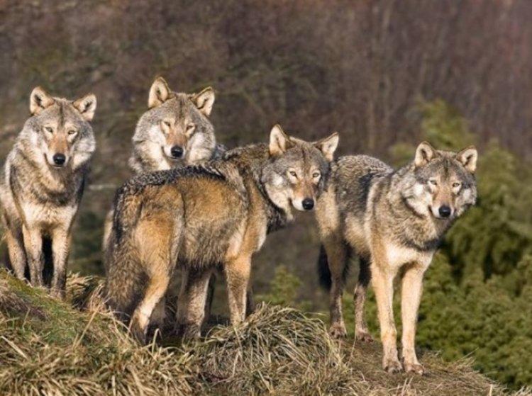Глутница вълци нападнаха овце и телета край Синчец