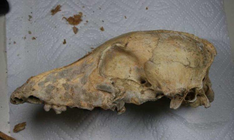"""Черепът на 4700-годишното неолитно куче, намерено в Kirschbaumhöhle, в лабораторията малко преди да бъде определен геномът на животното.Сн.: Амели Шеу, Университет """"Йоханес Гутенберг"""" Майнц"""