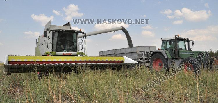 Слънчогледът в Хасковско засят по-късно и зажънат по-рано, добивите скромни