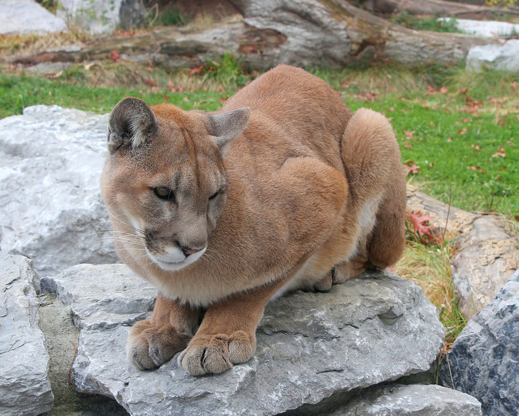 Най-голямата котка, която казва мяу и мърка (видео)