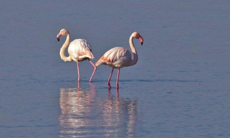 Розово фламинго в Родопите! Птиците са рекорден брой