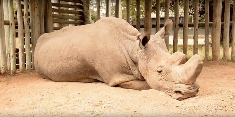 Последният мъжки северен бял носорог очаква смъртта си