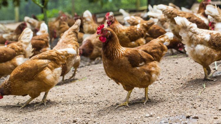 Огнище на птичи грип в Пазарджишко