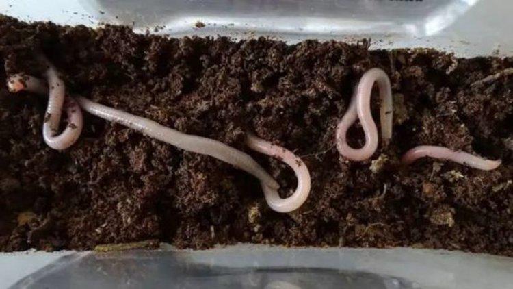 Земните червеи изглежда се чувстват добре в симулирана марсианска почва. Сн.: Wieger Wamelink