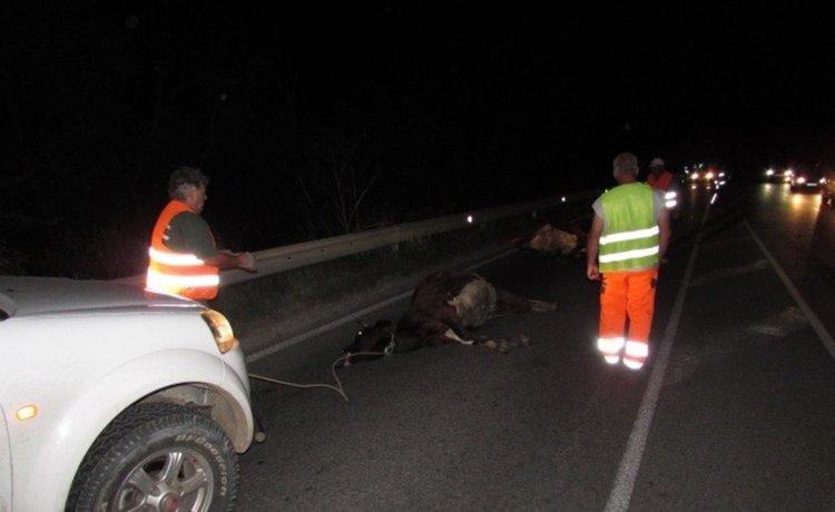 Поредната крава стана курбан на забързан шофьор