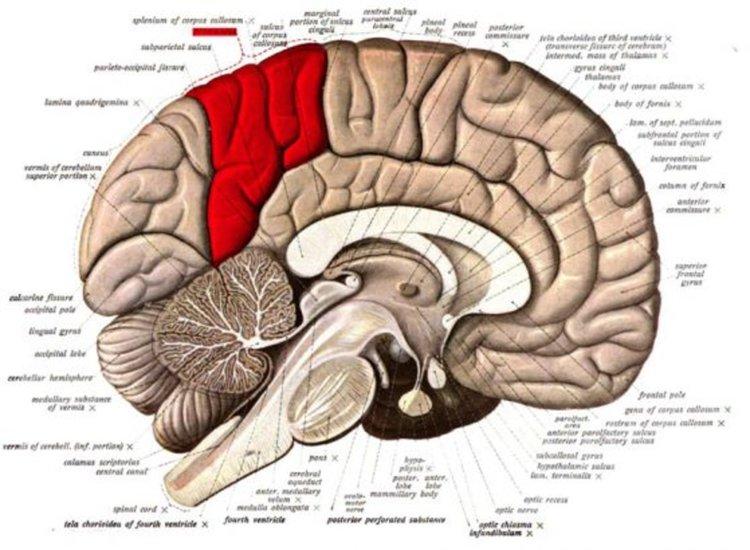 Прекунеусът, теменната кора на главния мозък е в червено. Илюстрация: wikipedia