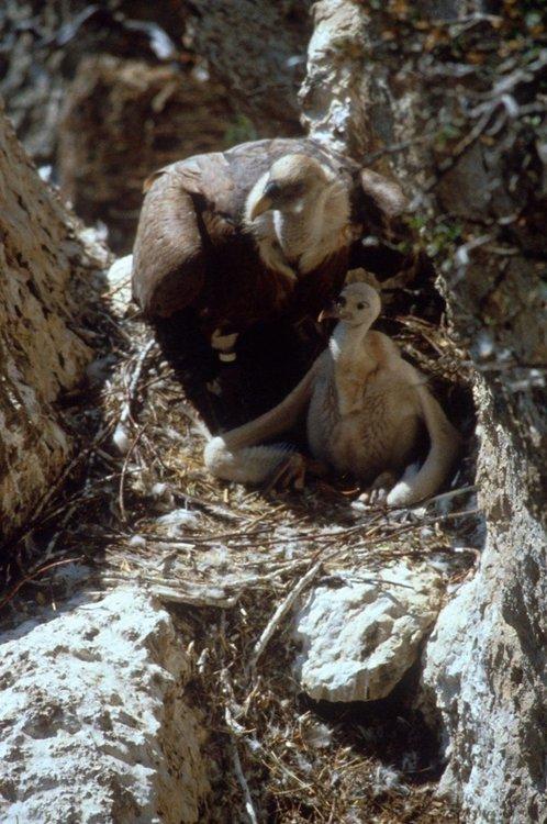 64 белоглави лешоядчета се излюпиха тази година в Източните Родопи
