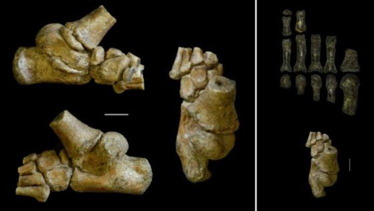Фосил на крак на малко дете на 3 милионна години (вляво). Кракът на детето (в долната дясна част) в сравнение с фосилните останки на крак на възрастен австралопитек (нагоре). Снимка: Jeremy DeSilva & Cody Prang
