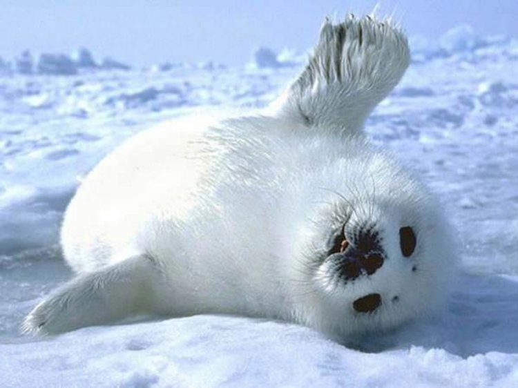 Байкалска нерпа бебе