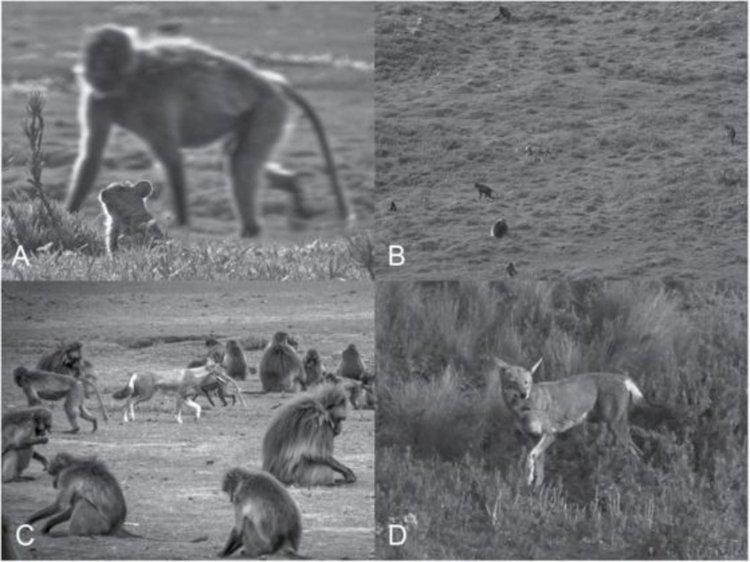 Маймуни и вълци създават съюз, напомнящ опитомяването от хората