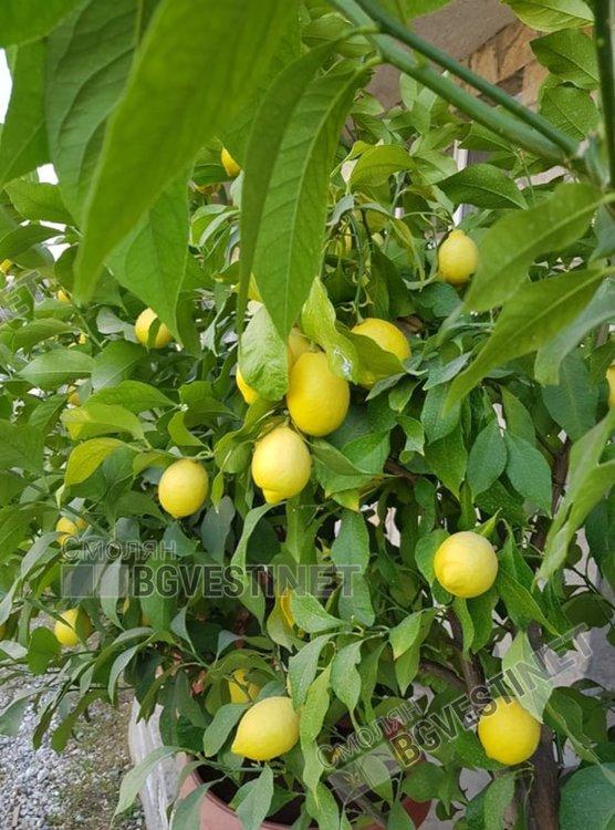 До късно саксиите с цитрусовите дръвчета са навън, а плодовете зреят и през зимата, когато са вътре
