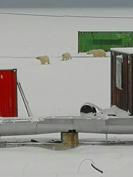 Бели мечки обсадиха село в Чукотка